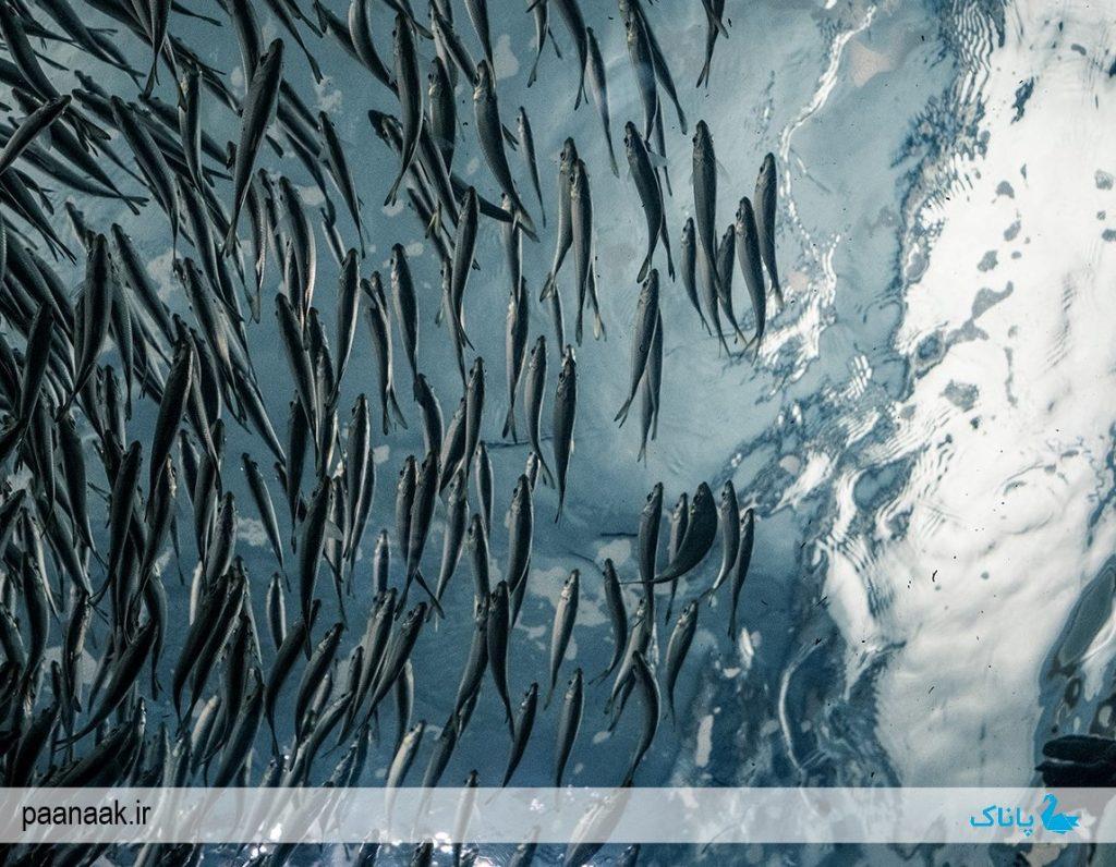 کنترل دمای استخر پرورش ماهی